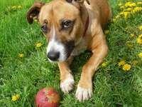 schöne Tiere - der Hund liegt auf einer Wiese