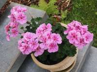 Такива розови цветя. - Розовите здравец цъфтят през целия сезон.
