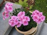 Such pink flowers. - Pink geraniums bloom all season.
