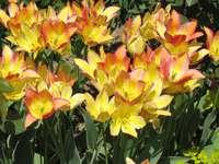 Tulip garden. - Garden full of tulips - spring in Łańcut.