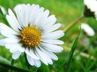 Blumen - die Natur selbst - Blumen - Natur allein - Daisy