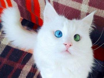 kochane zwierzęta - niebiesko -oki kotek