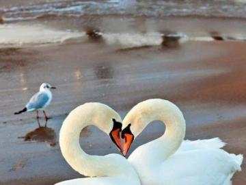 kochane zwierzęta - kochane zwierzęta--- łabędzie