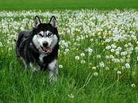 voleur de loup