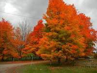Vlam bomen. - Brandende bomen in de herfst.