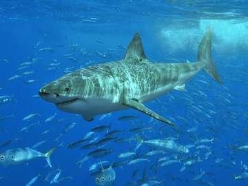 A dangerous shark. - A dangerous shark in the ocean.