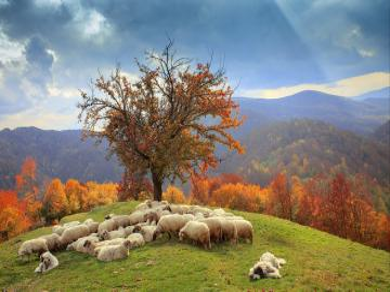 Romanian sheep. - Romanian flock of sheep on the meadow.