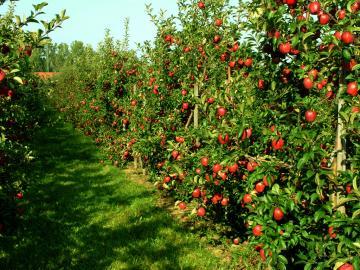 Apple orchard. - Dans un verger de pommiers