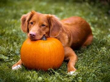 Dog with pumpkin - A great photo of a beautiful dog lying on pumpkin grass