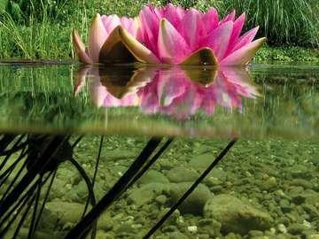 Ładny kwiat. - Ładny kwiat w oczku wodnym.