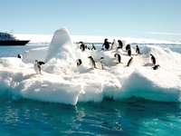 Pingwiny. - Urocze pingwiny na śniegu.