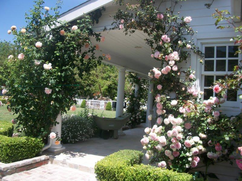 Egy romantikus hely - Ezek a gyönyörű hegymászó rózsa. Olyan édes (10×10)