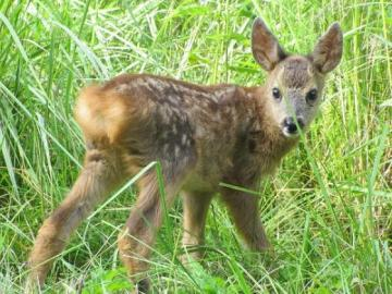 Fawn. - A lost deer in the grass.