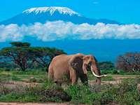 Slon africký. - Africa. Kenya. Mount Kilimanjaro.