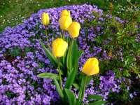 τουλίπα jaunes