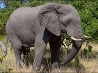 elefánt kirakós