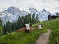 Vacas alpinas.