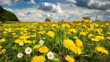 A field of dandelion. - A field of dandelion flower.