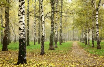 Birch forest. - Birch forest in autumn. There are boots somewhere.