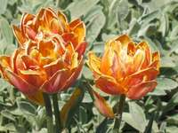 Spring tulips. - Such were spring tulips, we wait for next spring.