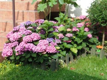 hydrangea - hydrangeas in the garden