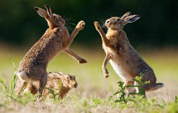 Hare fight. - Animals: hare fight.