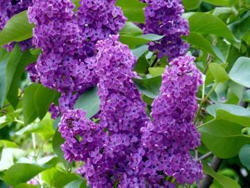 Fioletowy bez. - Kwiaty: gałązka fioletowego bzu.