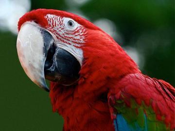 Παπαγάλος με ένα λευκό ράμφος.