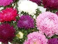 Asters de colores - Flores: asters de colores.