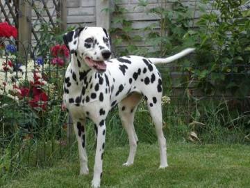 Dalmatian. - Animals. Dog: Dalmatian.