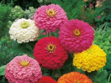 Zinnia - Blumen: verfeinerte Zinnie.