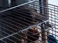 Mewka japońska - Mewki japońskie w klatce