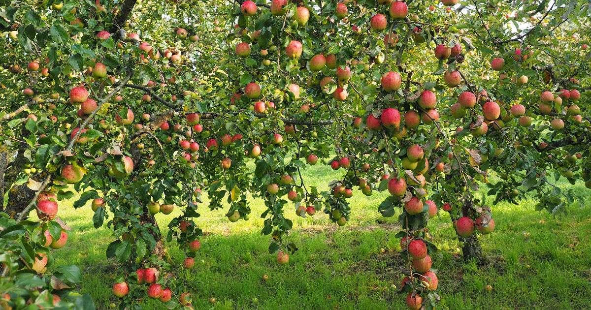 Maçãs em um pomar - Comida: maçãs saborosas (5×10)