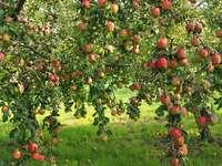 Jabłka w sadzie.