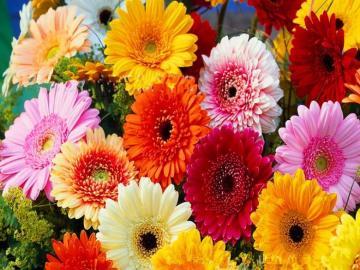 Gerbery. - Kwiaty: kolorowe gerbery.
