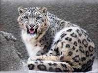 léopard des neiges - animaux panthère des neiges