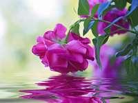 Trandafir purpuriu