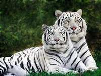 Tigres de neige. - Animaux: tigres des neiges.