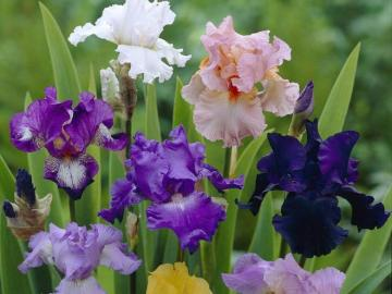 Iris colorés.