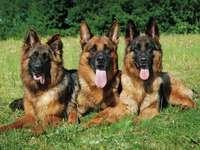 Owczarki niemieckie. - Psy: owczarki niemieckie.