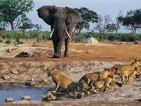 A África é naturalmente selvagem. - A África é naturalmente selvagem.