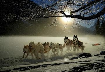 Dog team. - Winter sled dog competition.