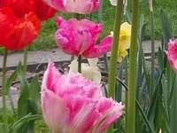 tulips - tulip tulip on the plot