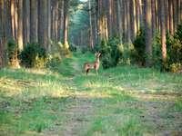 Tuchola erdő.