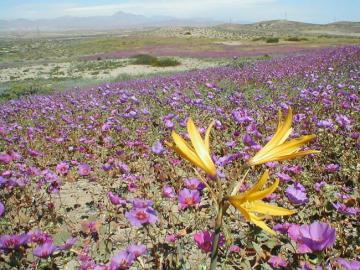 Fleurs dans le désert d'Atacam - Chili. Le désert d'Atacama.