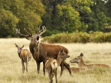 Harem deer. - Animals. Harem deer.