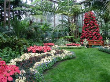Garden of poinsettias. - Winter garden poinsettias.
