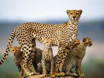 Gepardy. - Zwierzęta. Piękne gepardy.