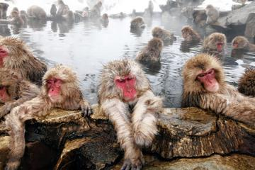Monkey in a bath. - Japanese macaques in a warm spring.