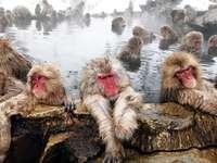 Singe dans un bain. - Macaques japonais dans un printemps chaud.